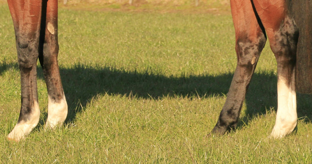 Osteochondrosis-and-Osteochondritis-Dissens-Reducing-the-Risk-Optim-Equine
